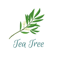 Tea tree branch with flowers and leaves. Malaleuca or tea tree design composition. Vector illustration for web or print