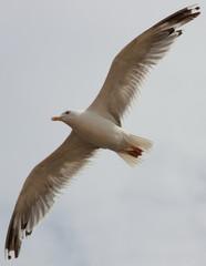 Чайка в полете на фоне неба