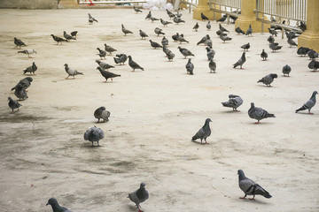 group/flock of pigeon or dove birds eating food on concrete floor/ground in Thailand.