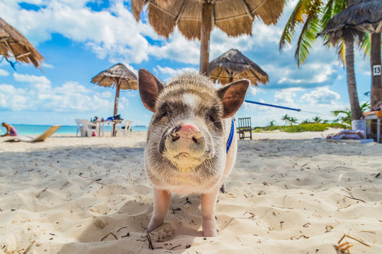 Pig on the beach. Dirty beach. Piglet under the palm trees