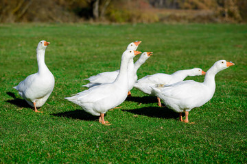 Funny domestic geese on the green grass