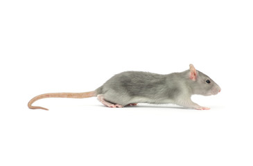 rat isolated on white