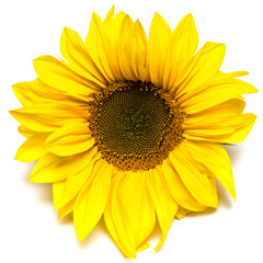Flower of sunflower isolated on white background.