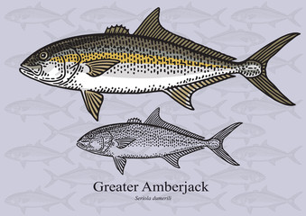Greater Amberjack. Vector illustration for artwork in small sizes. Suitable for graphic and packaging design, educational examples, web, etc.