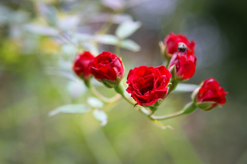 Red Fairy Rose blooming in the garden, the flower of love