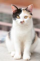 Three color thai cat.
