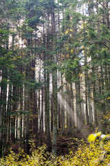 Beams of the Sun through a haze in the coniferous wood