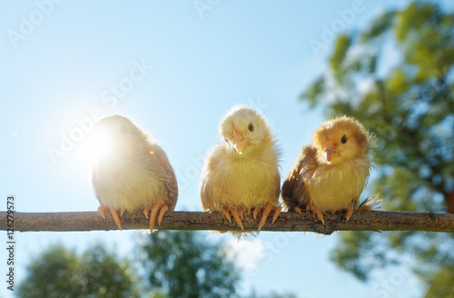 Portrait cheerful of babies chicks on nature background for Cheerful nature