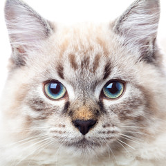 Neva Masquerade Siberian cat portrait