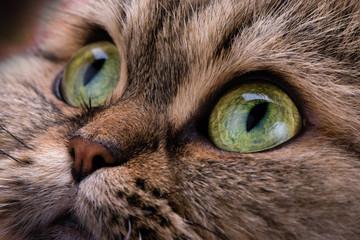 Cat. Macro. Green eyes. Animal. Look. Angry.