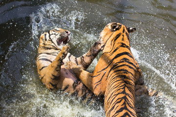 Fotobehang Two Tigers fighting in Water