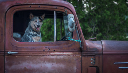 Smiling dog in old red pickup truck