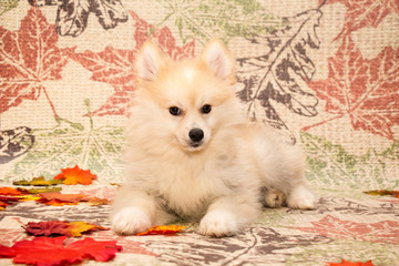 Autumn Pomsky Puppy