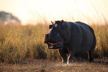 The common hippopotamus (Hippopotamus amphibius)