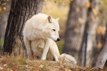 Grey wolf sitting.
