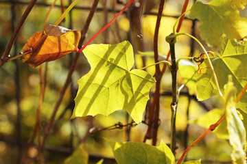 Wall Mural - close photo of a small yellow leaf of woodbine growing on the fence in autumn