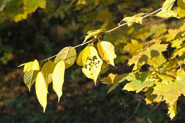 Wall Mural - nice yellow leaves of alder on the twig, one of them with holes in autumn in contrast with dark background