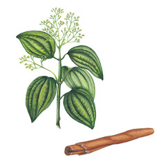 Watercolor illustration of cinnamon plant