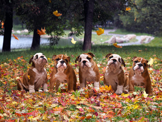 Dogs in autumn park. Lots of cute English bulldog puppies, autumn, fall autumn leaves