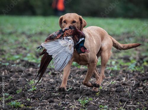sporting dogs labrador retrievers birds of prey and - HD1280×957