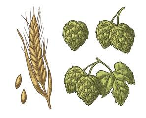 Set hop herb plants with leaf and Ear of barley. Vector vintage engraved illustration.