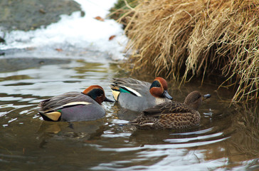 Swimming Teals