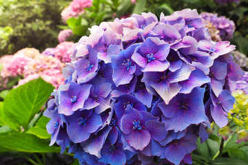 Closeup view of the beautiful purple flowers of Hydrangea macrophylla or Hortensia in the garden.