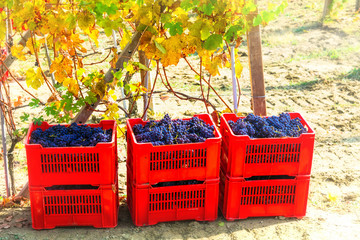 Autumn harvest - golden vineyards and grape in baskets. Tuscany, Italy