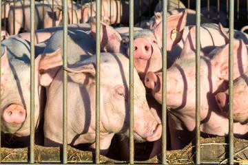 Schweine in der Freilandhaltung