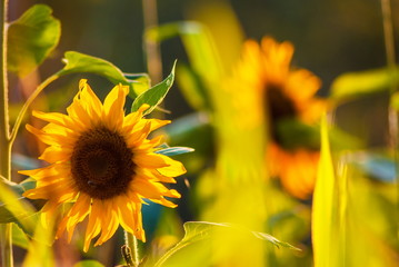 Yelllow sunflowers at rural area meadow landscape