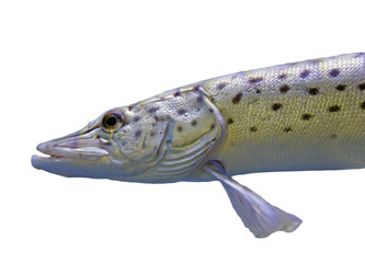 Fish Spotted pike
