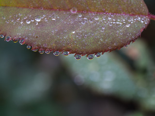 Rain Drops Perched on Leaves Rose