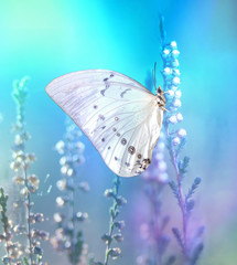 Beautiful white butterfly on white flower buds on a soft blurred blue background spring or summer in nature. Gentle romantic dreamy artistic image.