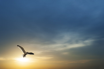 Seagull flying with sunset