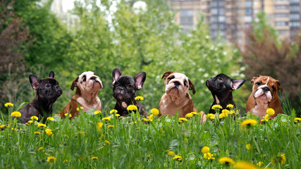 tall grass among dandelions Lovely dogs. Puppies English and French bulldog in public park