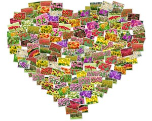 Photos of tulips arranged in heart shape