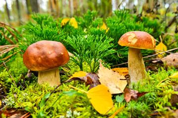 Autumn mushrooms in autumn leaves
