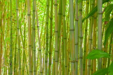 Bamboo thicket. Green bamboo trunks making shade.