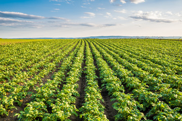 Green field of potato crops in a row Wall mural