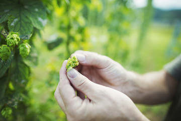 Man standing outdoors, picking hops from a tall flowering vine with green leaves and cone shaped flowers, for flavouring beer.