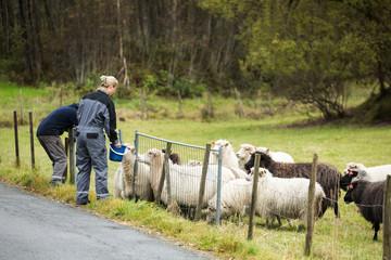 Farmers feed the sheep. Europe.