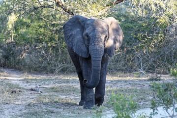 Elefant im Kruger Nationalpark - Südafrika