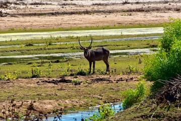 Wasserbock im Kruger Nat. Park - Südafrika