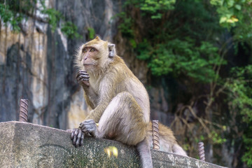 Monkey (Crab-eating macaque) with green tree background.