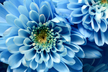 Fototapete - Details of blue flower for background or texture