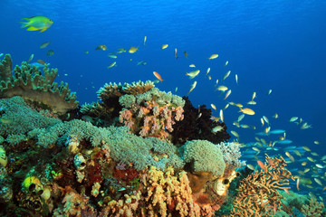 Colorful Coral Reef against Blue Water. Gam, Raja Ampat, Indonesia