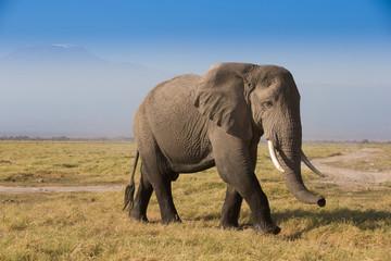 Herd of elephants In Amboseli National Park Kenia