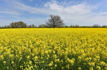 Field of Rapeseed in Bloom alongside the Camino de Santiago de Compestela in Spain.