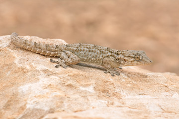 Moorish Gecko (Tarentola Mauritanica)/Moorish Gecko in North African Desert