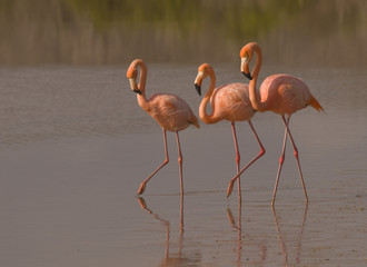 March of the Flamingos, Galapagos
